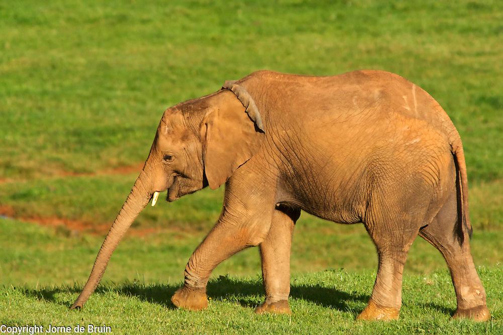 An elephant  calf walks through the grass land in the Wildlife Pakr of Cabárceno in Spain.