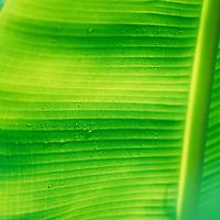 Fiji Islands, botanical, banana leaf