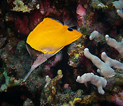 The yellow longnose butterflyfish or forceps butterflyfish, Forcipiger flavissimus, is a species of marine fish in the family Chaetodontidae.
