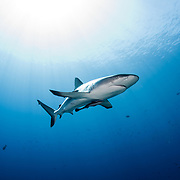 Gray reef shark (Carcharhinus amblyrhynchos) on Father's Reef, Papua New Guinea.