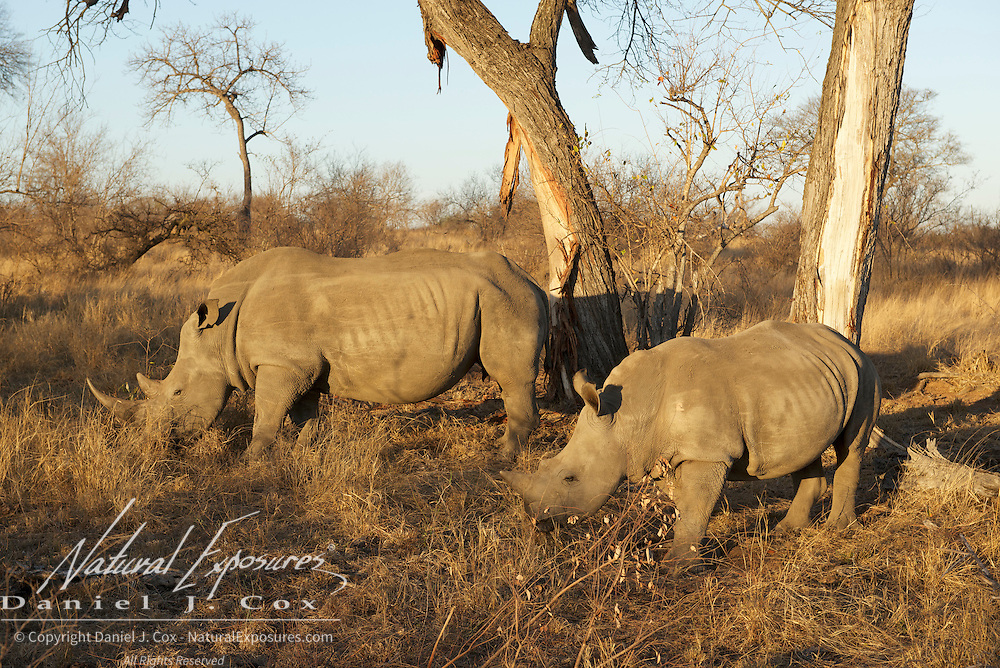 White Rhino, mother and baby, Timbavati, Game Reserve, South Africa.