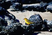 Yellow Warbler bird on rocks, Santa Cruz, the  Galapagos Islands, Ecuador