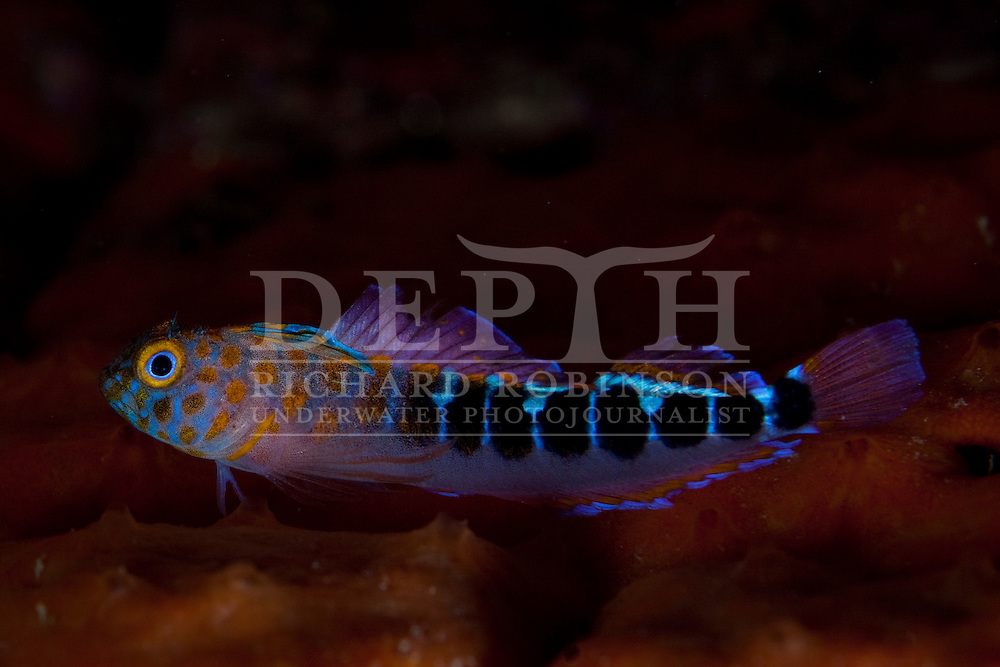 Notoclinops caerulepunctus (Blue-dot triplefin) ,  Mokohinau Island in the Hauraki Gulf, New Zealand..Saturday 06 August 2011..Photograph Richard Robinson © 2011..Dive Number: 374.Dive Buddy: Glen Whatmough, Martin Wallis, Joe Single..Site: Pinnacle between Atihau and Hokoromea Island in the Mokohinau Islands..Temperature: 15.7 Degrees Celsius..Rebreather: Inspiration Vision. Total Time On Unit: 160:39 hh:mm.Mix : 21.Maximum Depth: 21 meters..Bottom Time: 70 minutes..Bottom Time to Date: 23,031 minutes..Cumulative Time: 23,101 minutes