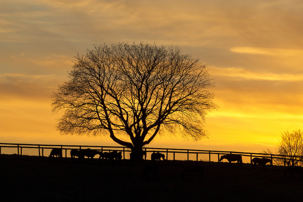 Montgomery, New York - Trees and horses are seen in silhouette in front of colorful clouds at sunset at Cameo Hills horse farm on Dec. 23, 2012. ©Tom Bushey / The Image Works
