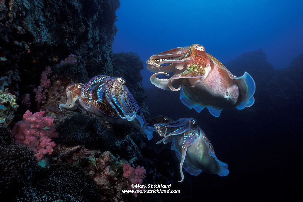 A female Pharaoh cuttlefish, Sepia pharaonis, prepares to deposit her eggs in a rocky crevice as several males hover nearby. The dominant male maintains very close contact to prevent competing males from mating with her. Richelieu Rock, Thailand, Andaman Sea, Indian Ocean