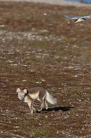 ..Arctic Fox (Alopex Lagopus)