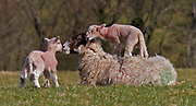 Adult female sheep (ewe) with two lambs showing affection, Devon, U.K.
