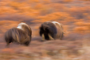 Alaska. Fast movement involved in a Muskox (Ovibos moschatus) between two bulls blurs the autumn action on the Seward Peninsula, outside of Nome.