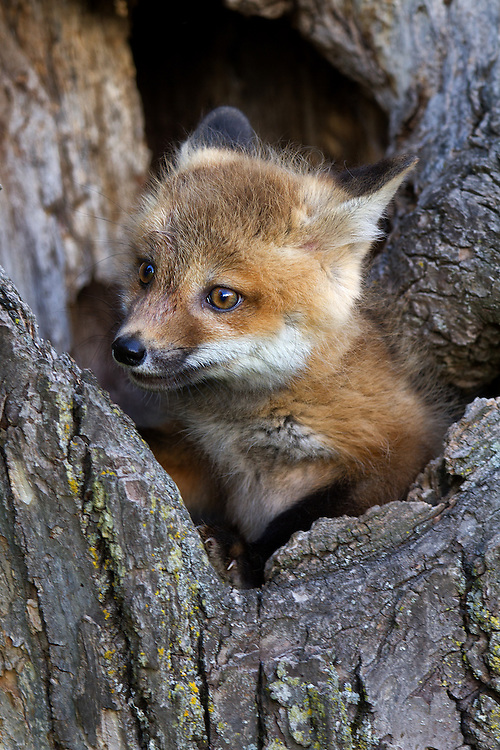 """Red Fox kit peaking out of its tree hideaway.<br /> <br /> Available sizes:<br /> 12"""" x 18"""" print <br /> 12"""" x 18"""" canvas gallery wrap<br /> 16"""" x 24"""" print <br /> <br /> See Pricing page for more information. Please contact me for custom sizes and print options including canvas wraps, metal prints, assorted paper options, etc. <br /> <br /> I enjoy working with buyers to help them with all their home and commercial wall art needs."""