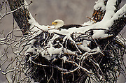 Alaska. Bald Eagle  (Haliaeetus leucocephalus) on winter nest in the Chilkat Valley of the Eagles. Haines. Chilkat Bald Eagle Preserve. Alaska has more eagles than the rest of the USA combined.