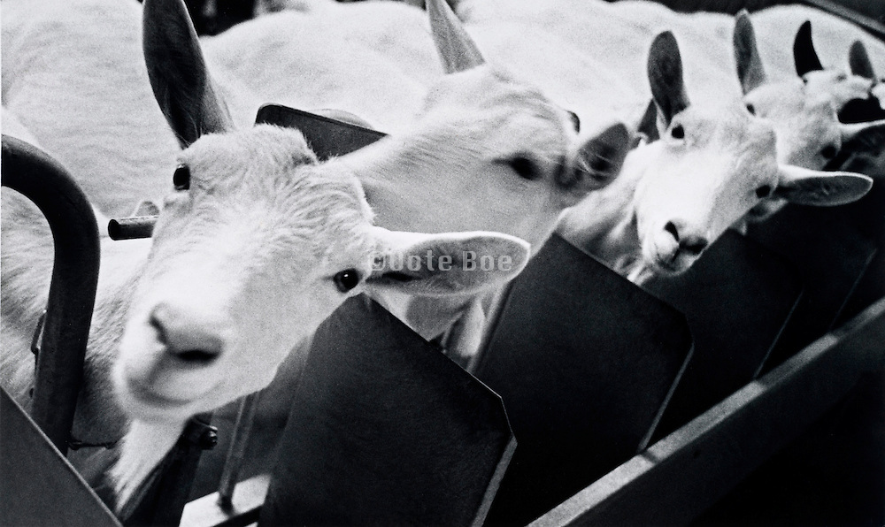 A row of white goats looking at the camera