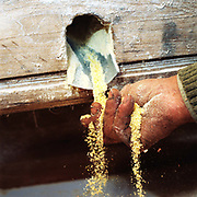 A subsistence farmer's hand holding freshly milled maize in Sieu, Maramures, Romania. The farmers bring their products to the village mill and pay the owner in kind with part of the produce.