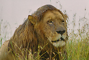 Male lion in rainstorm