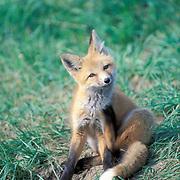 Red Fox, (Vulpus fulva) young kit scratching self near den opening. Summer.