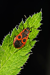 THEMENBILD - Die Gemeine Feuerwanze (Pyrrhocoris apterus) gehört zu den Feuerwanzen (Pyrrhocoridae) und ist neben Pyrrhocoris marginatus die einzige Art der Familie, die in Mitteleuropa vorkommt.Aufgenommen am 15.08.2013 // THEMES PICTURE - The firebug, Pyrrhocoris apterus, is a common insect of the family Pyrrhocoridae. Easily recognizable due to its striking red and black coloration, it is distributed throughout the Palaearctic from the Atlantic coast of Europe to northwest China, pictured on 2013/08/15. EXPA Pictures © 2013, PhotoCredit: EXPA/ Eibner/ Michael Weber<br /> <br /> ***** ATTENTION - OUT OF GER *****