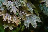 Maple Leaves in the Rain. Spring in New Jersey. Image taken with a Nikon 1 V1 + Nikor 30-110 mm VR lens (ISO 800, 110 mm, f/7.1, 1/30 sec)