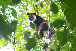 A masked palm civet is pictured in Danum Valley Conservation Area, on August 5, 2019 near Lahad Datu city, State of Sabah, North of Borneo Island, Malaysia. Palm oil plantations are cutting down primary and secondary forests vital as habitat for wildlife including the critically endangered masked palm civets. Photo by Emy/ABACAPRESS.COM