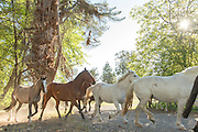 Horses in forest, Estancia Huechahue, Patagonia, Argentina, South America