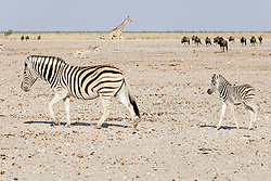 Zebras, Giraffe, and Gnus at Etosha National Park, Namibia, Africa