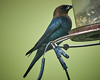 Brown-headed Cowbird. Image taken with a Nikon D5 camera and 600 mm f/4 VR lens