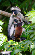 Zanzibar Red Colobus monkey with her young, one of Africa's rarest primates numbers only about 1500 and is a distinct species, with different coat patterns, calls and food habits than species on the mainland.