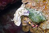 Nudibranch and Sea Slug - Great Barrier Reef