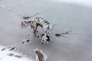 """English Setter """"Rudy"""" läuft am 03.02. 2019 über seinen gefrorenen und schneebedeckten Teich in Stara Lysa, (Tschechische Republik).  Rudy wurde Anfang Januar 2017 geboren."""