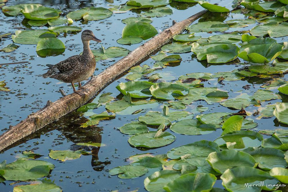 United States, Washington, Kirkland, duck and lilypads in Juanita Beach Park