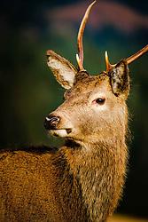 Red deer in Glen Etive, Scotland in winter.<br /> <br /> (c) Andrew Wilson | Edinburgh Elite media