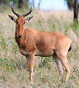 A   Coke's hartebeest (Alcelaphus buselaphus cokii) or kongoni. Serengeti National Park, Tanzania.