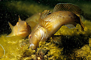 Round Goby Eating a zebra mussel (Lake Michigan)<br /> <br /> ENGBRETSON UNDERWATER PHOTO