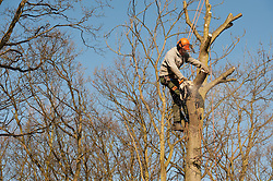 A young male working as an aborist cutting the crown of a tree with a chainsaw.