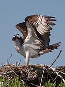 Osprey landing on nest in Chesapeake Bay.
