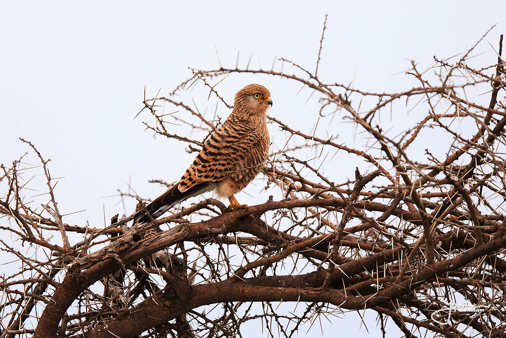 Greater Kestrel (alt. White-eyed Kestrel), belongs to Falcons, Större Tornfalk, Falco Rupicoloides