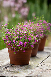 Line of terracotta pots planted with Gypsophila muralis 'Gypsy Deep Rose'