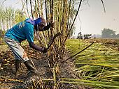 Thai Sugarcane Harvest
