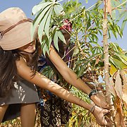 A farmer from Koumbadiouma shows Peace Corps volunteer Rachael Honick how to bring in the harvest. Kolda, Senegal.