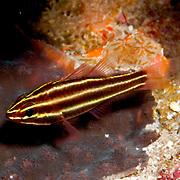 Blackstripe Cardinalfish inhabit reefs lurking under ledges and in caves. Picture taken Fiji.