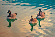 Canada geese (Branta canadensis) on Beauvert Lake<br />