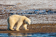 Polar bear (Ursus maritimus) cub walking on spit on Barter Island near Kaktovik in the Arctic National Wildlife Refuge in the Far North of Alaska. Autumn. Morning.