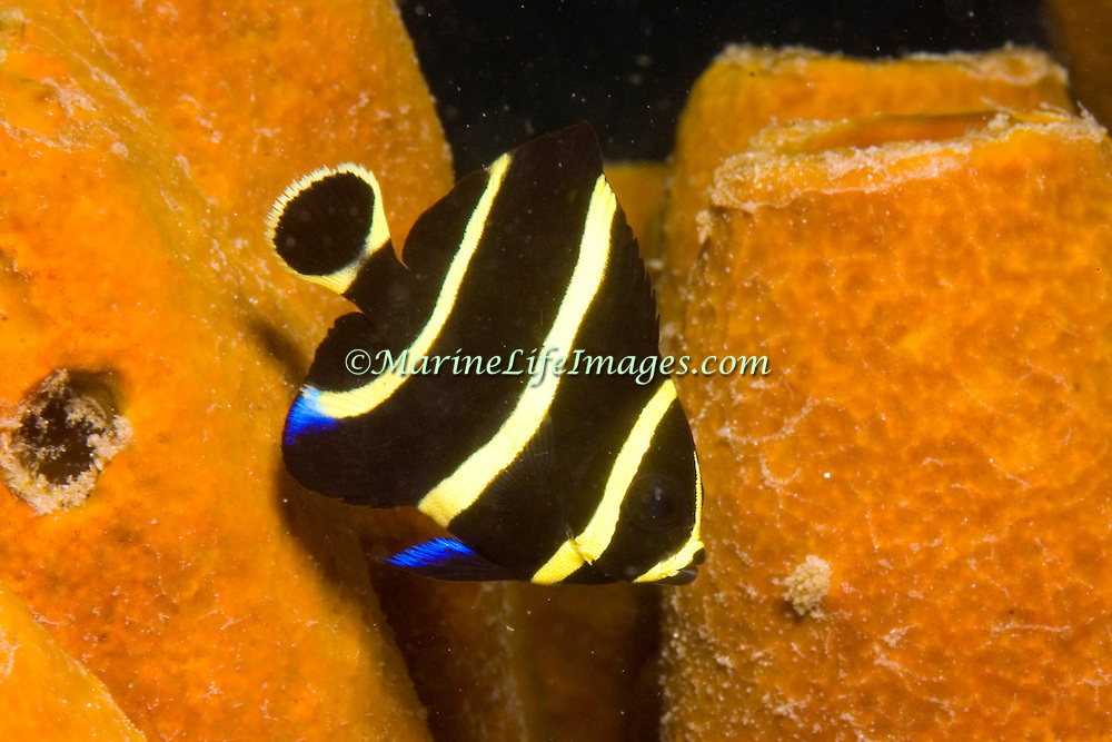 French Angelfish inhabit reefs and sandy areas in Tropical West Atlantic; picture taken St.Vincent.