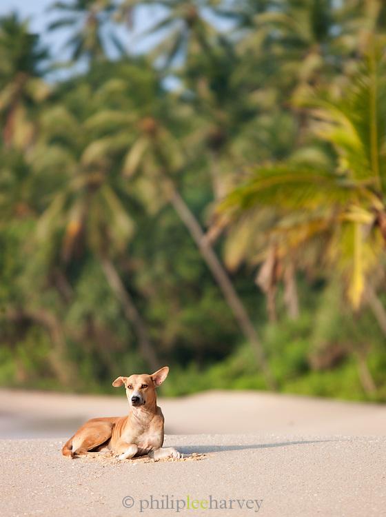 Wild dog sitting on sandy beach in Tangalle, Sri Lanka
