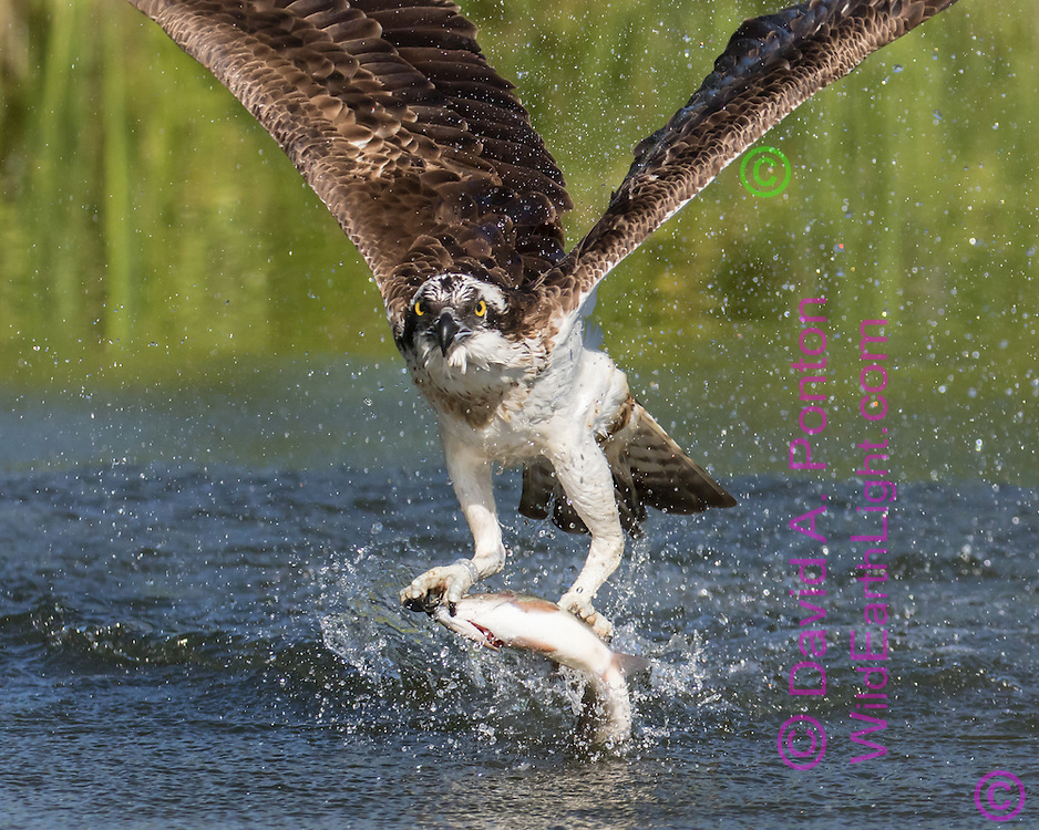 Osprey flies up from pond after catching a trout, © David A. Ponton