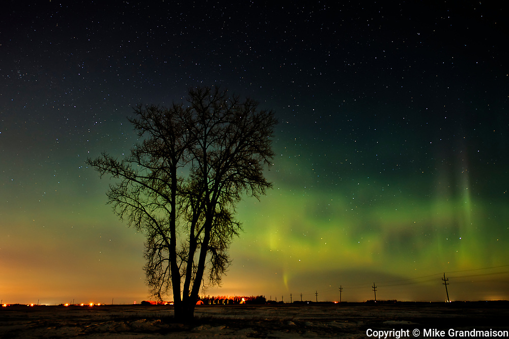Northern lights (Aurora borealis)  and plains cottonwood<br />Dugald<br />Manitoba<br />Canada