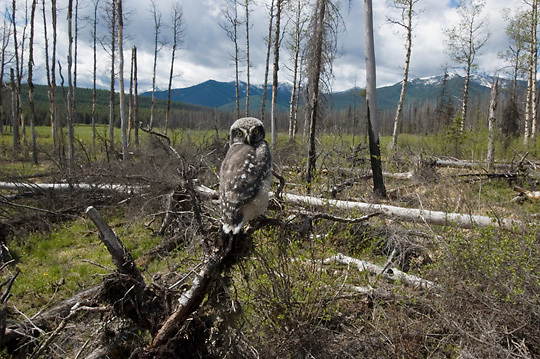 Northern Hawk Owl (Surnia ulula) Fledging in charred forest from fire. Charlo, Montana area.