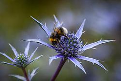Bee on Eryngium bourgatii Blue Form. Sea holly