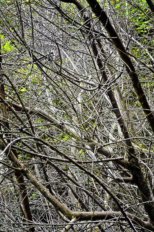 Mazes of tree branches and vines populate the perimeter of a hiking trail at Hawaii Volcanoes National Park, Hawaii.