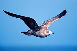 California gull, juvenile, Larus californicus, San Diego, California, East Pacific Ocean