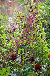 Rhodochiton atrosanguineus 'Purple Bells' (Purple bell vine) and Thunbergia alata 'African Sunset' growing up a birch tripod. Dahlia 'Karma Choc'