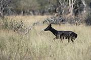Black Impala ram<br /> Exotic Game Breeders / Eden Farm<br /> Limpopo Province<br /> South Africa